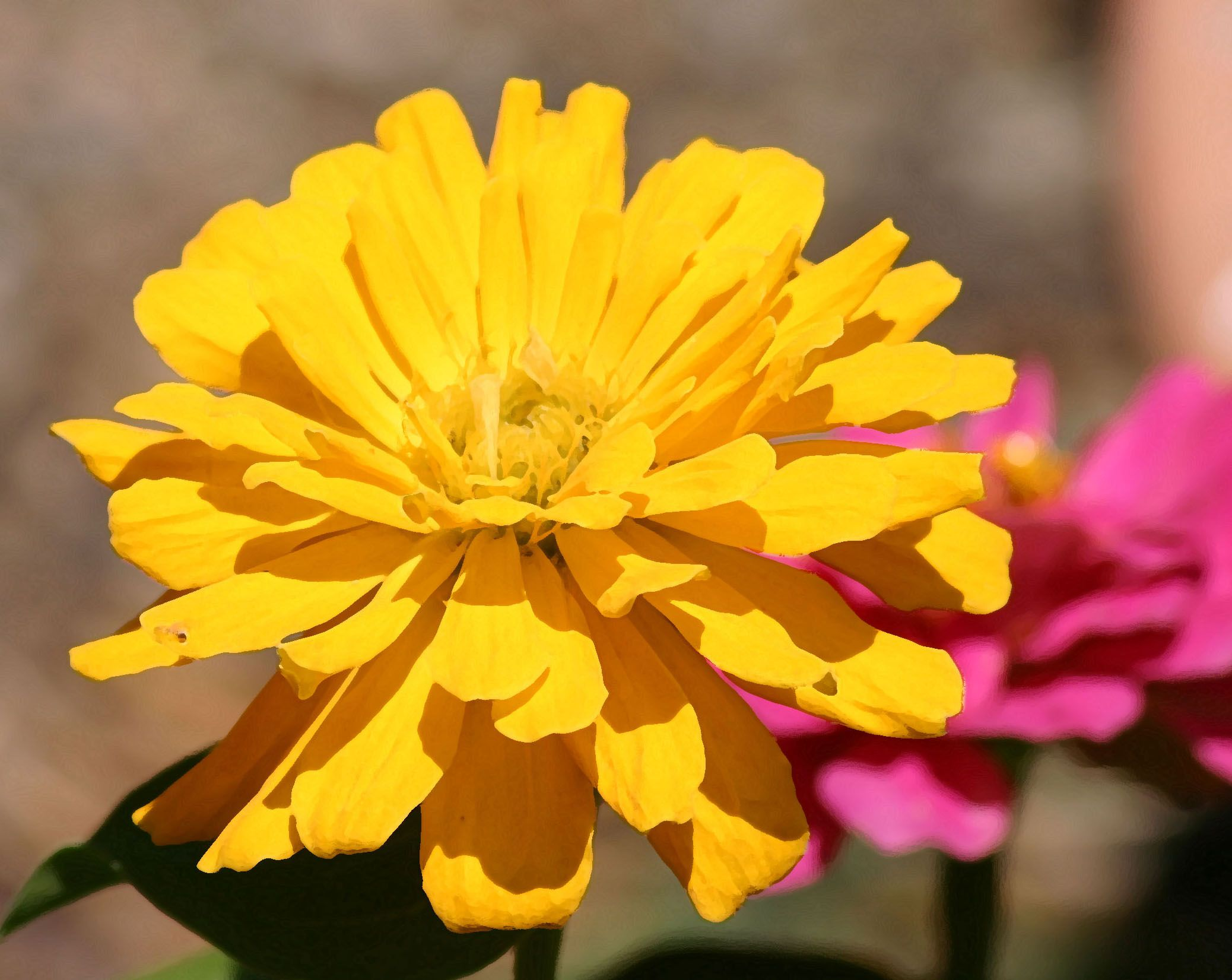 meanings of different Zinnias. Zinnia Thoughts of