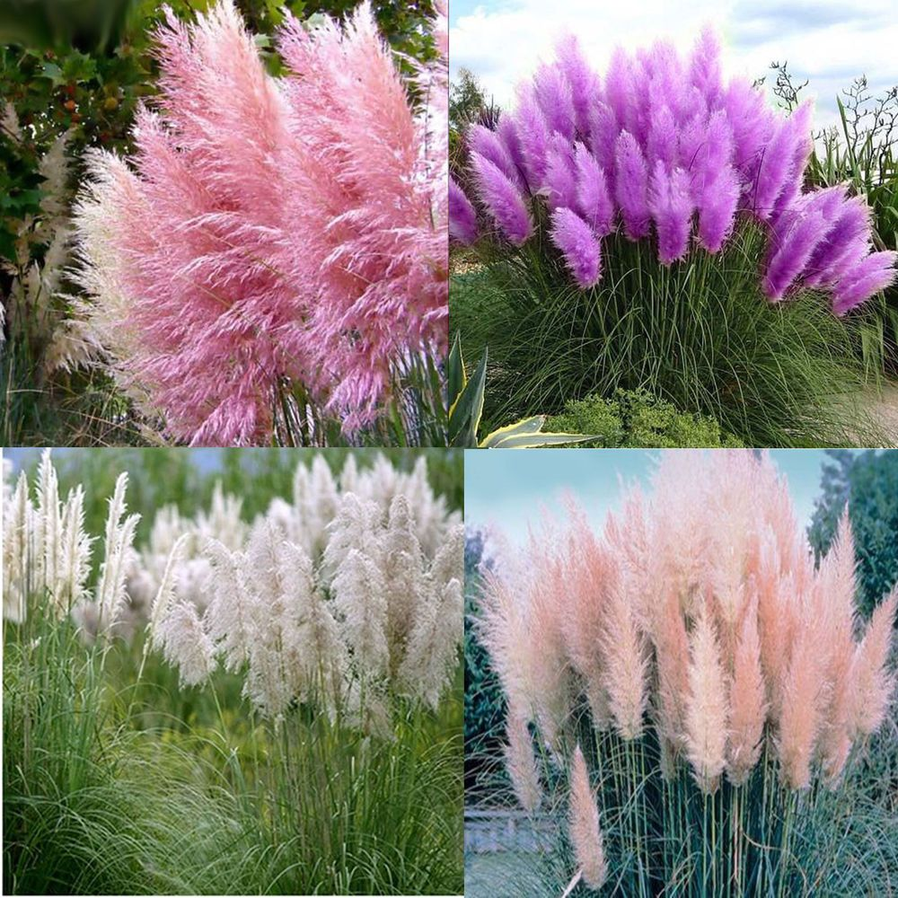 Pampas Grass And Grasses Google Search Grasses Landscaping Pink Pampas Grass Ornamental Grasses