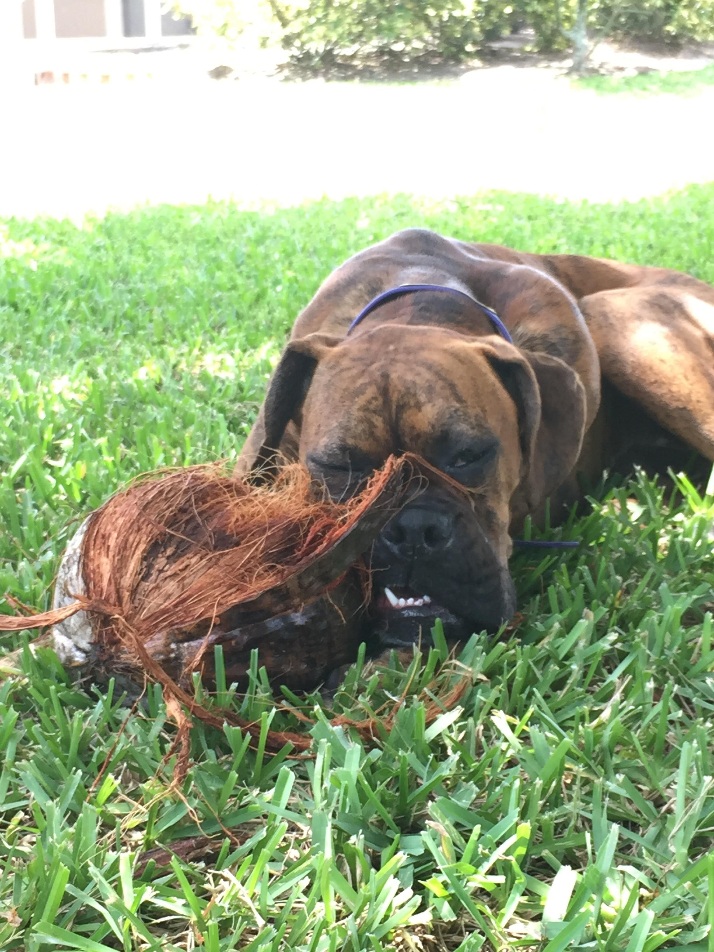 My boxer puppy found a coconut - 2