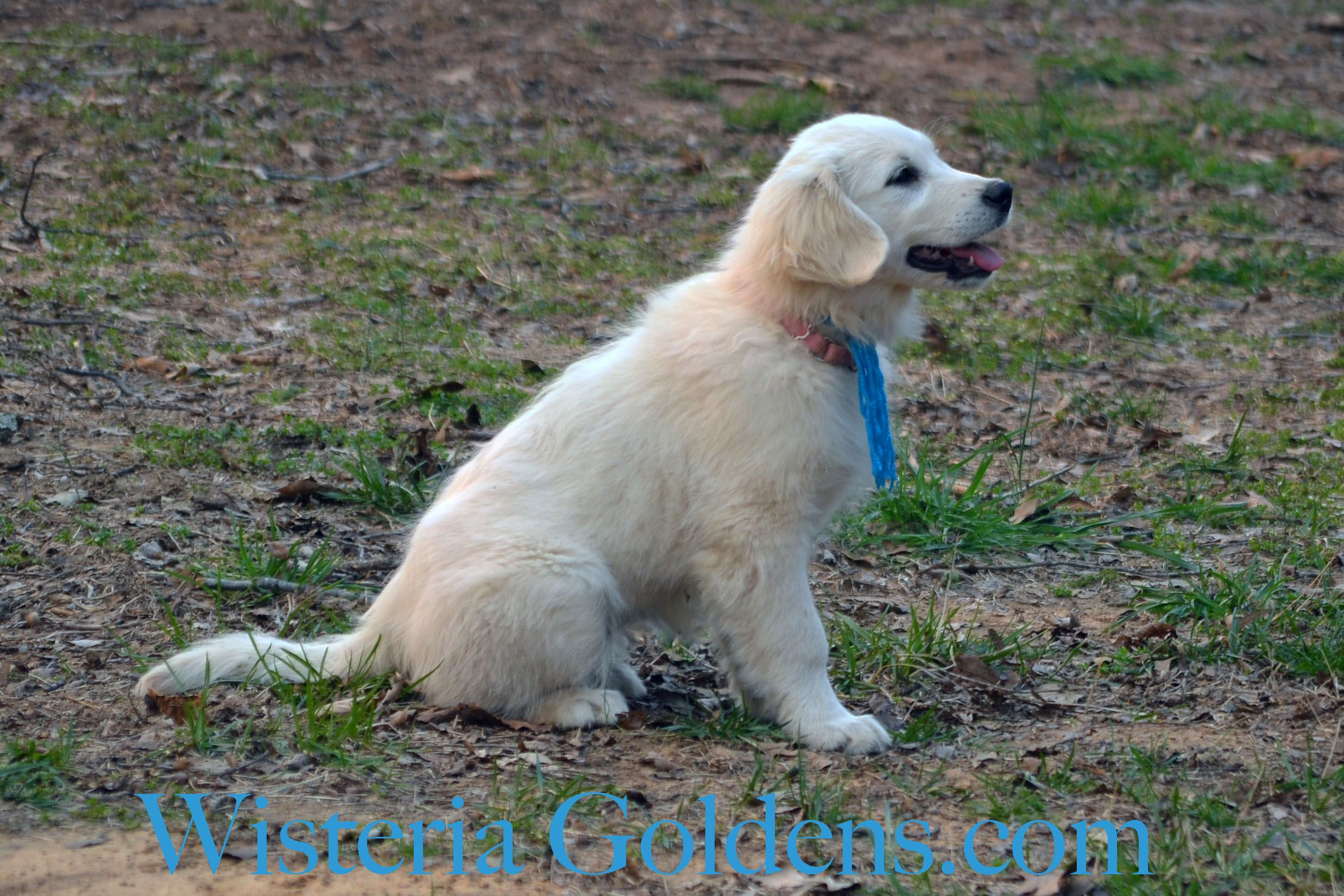 Trained Puppies Puppies, English golden retriever puppy