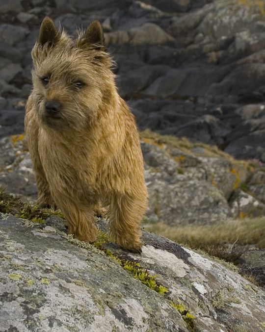 Face The Wild Wind Norwich Terrier Cairn Terrier Terrier