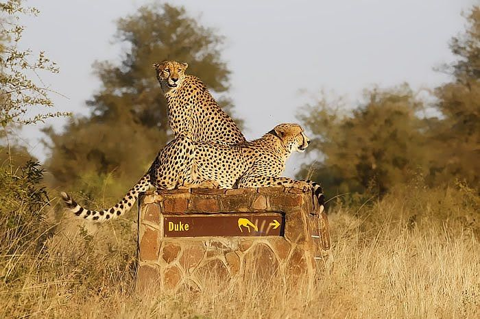 Cheetah Brothers Near Duke Waterhole Kruger Park Animals Cheetahs Cheetah