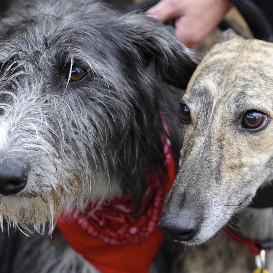 Pin by Małgorzata on deerhounds & friends Dog love, Dogs