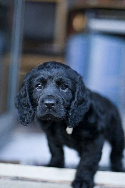 Cocker Spaniel Puppy Posted Via Allbeautyallthetime Tumblr Com