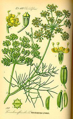Fenchel (Foeniculum vulgare), Illustration