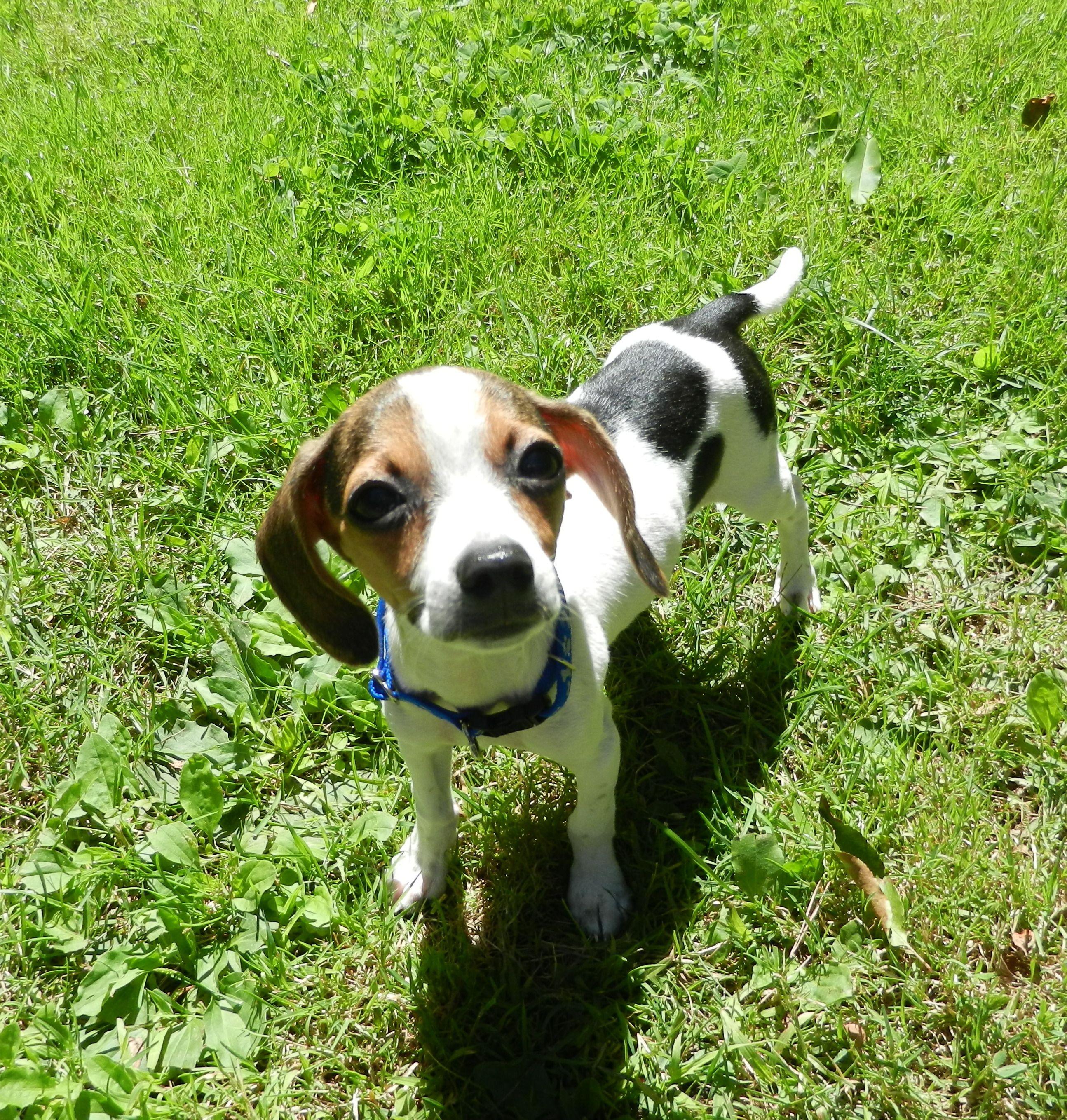 Tri Color Toy Beagle Pocket Beagle Miniature Beagle Http Www