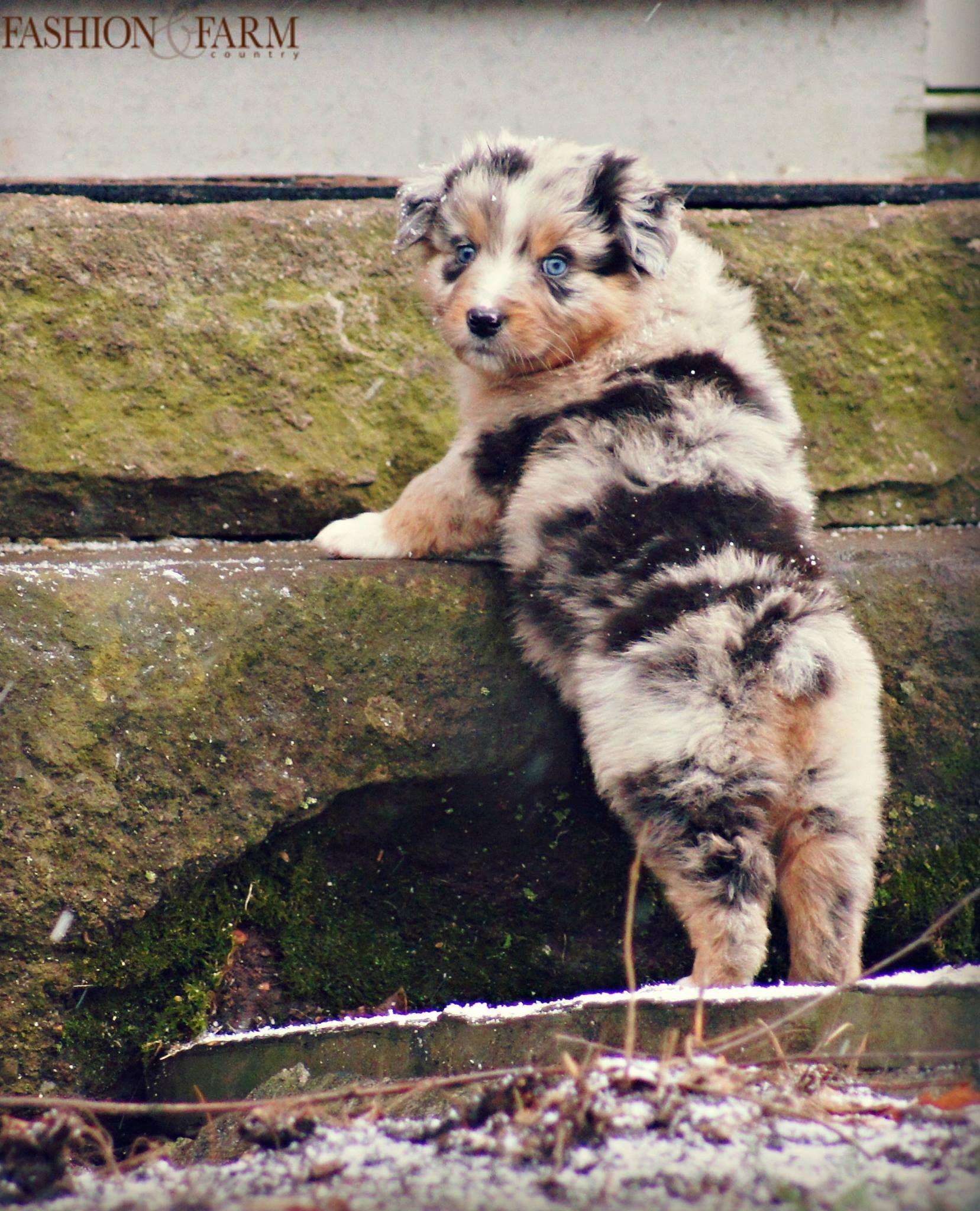 Fashion & Farm Country Australian Shepherd puppy River