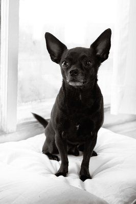 Black Chihuahua Mix Reminds Me Of Our Beloved Pet Basco Who