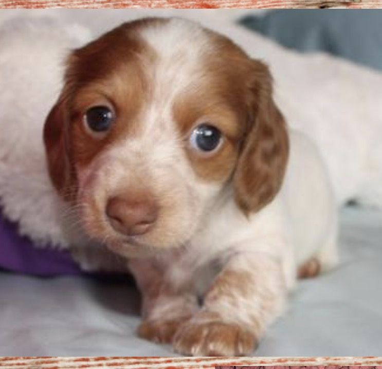 Red Piebald Dachshund Little Beauty Houston San Antonio Tx