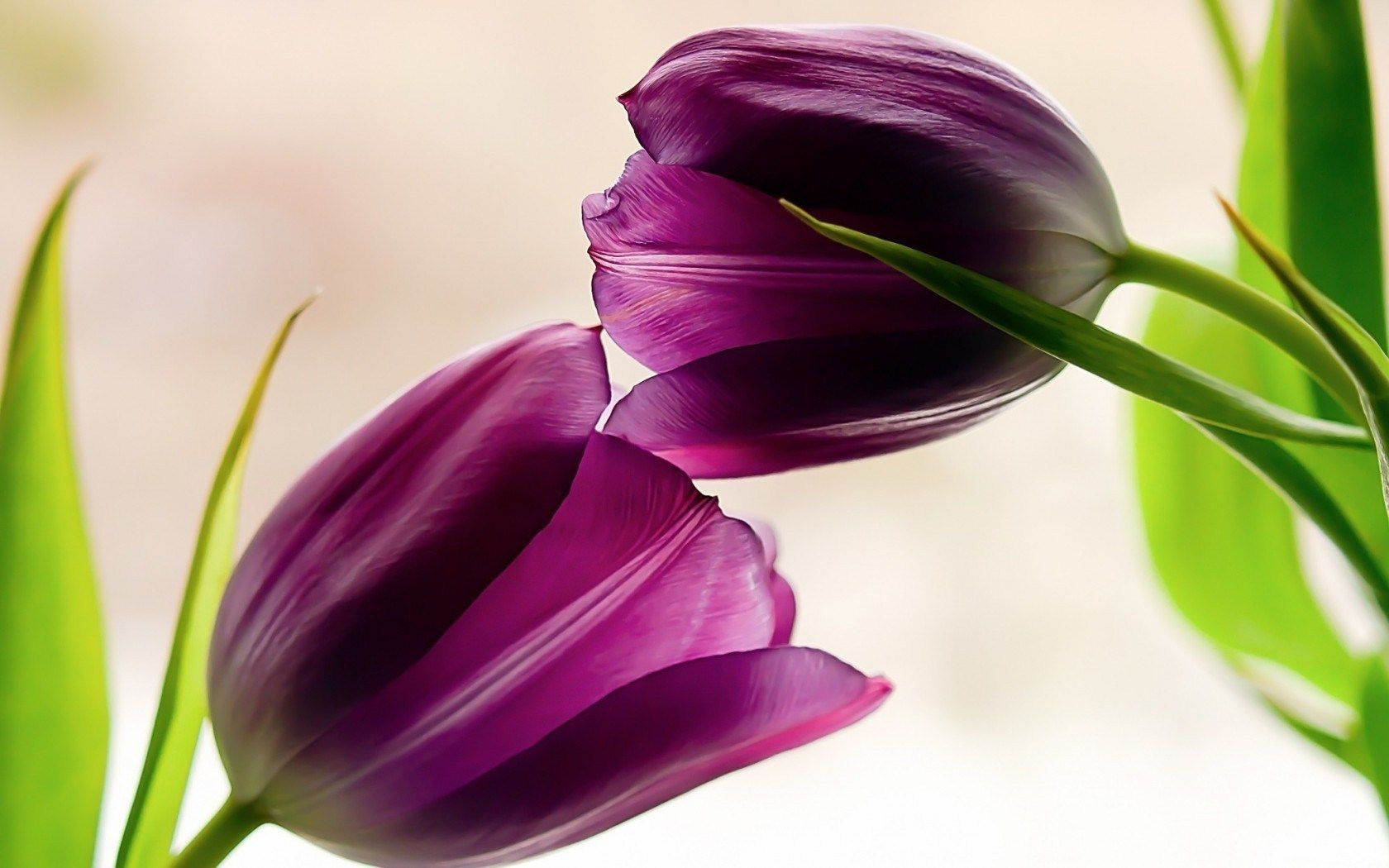 Two Purple Tulip Flower Wallpaper Is A Hd Wallpaper Posted In Tulip Flower Category You Can Download Free Covers Created From Or Tulips Flowers Flowers Tulips
