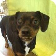 Longview Tx Dachshund Boston Terrier Mix Meet Smiley A Dog For