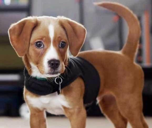 Blue Tick Beagle Beagle Designer Dogs Breeds Unique Dog