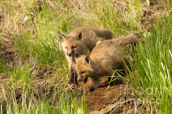 Two kits play on a hill near a campsite in Yellowstone National Park.