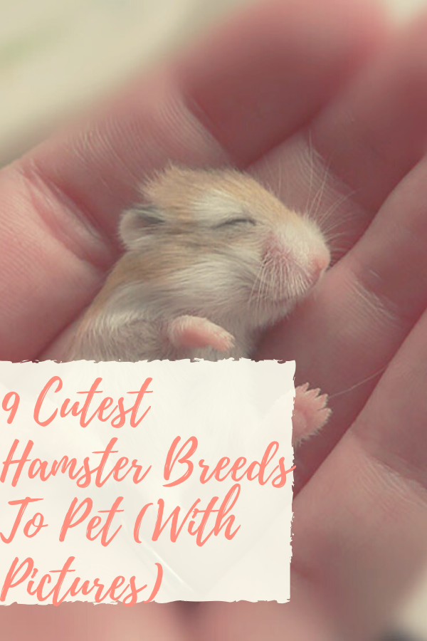 cutest hamster in the world, cutest hamster breeds, cutest