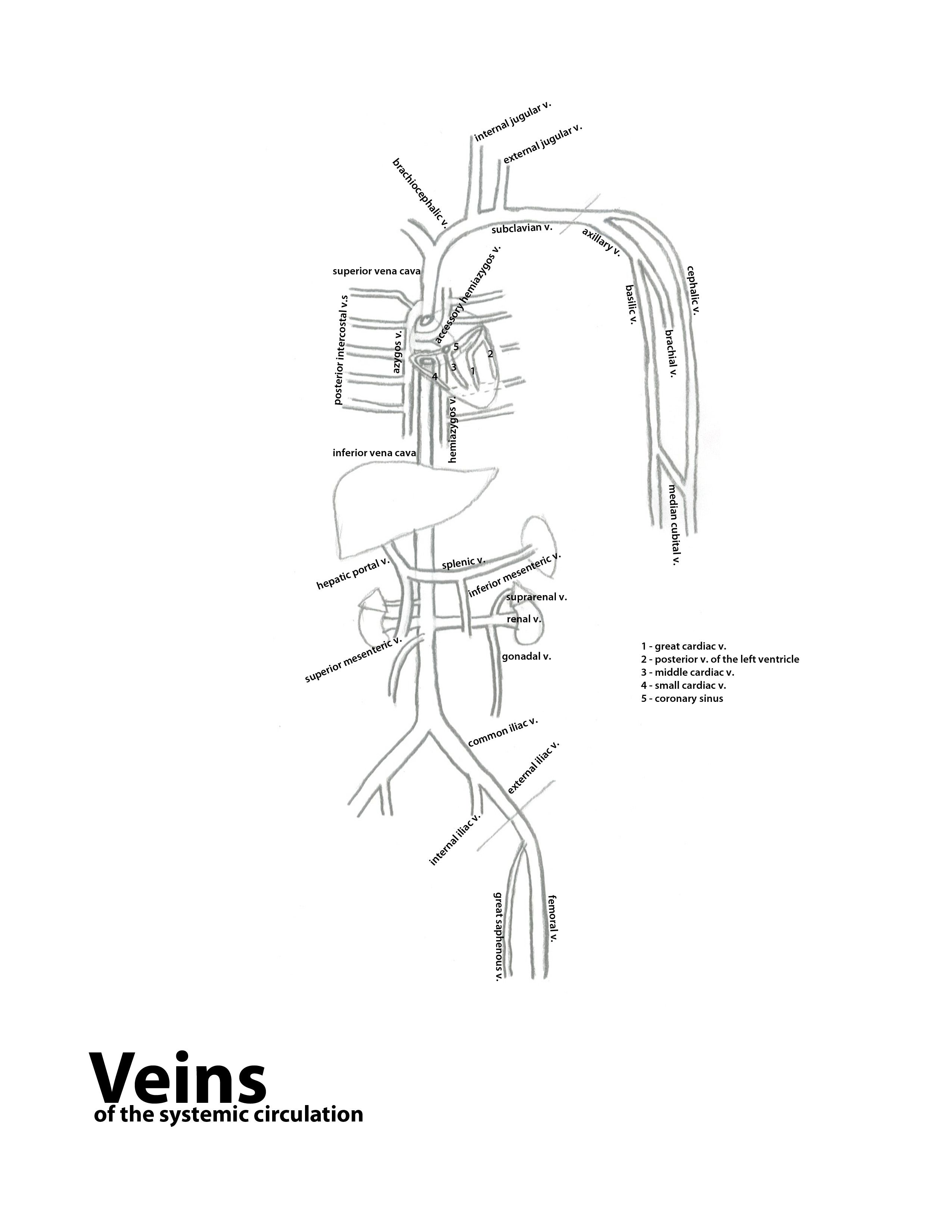 Human Body Arteries And Veins Diagram Unlabeled