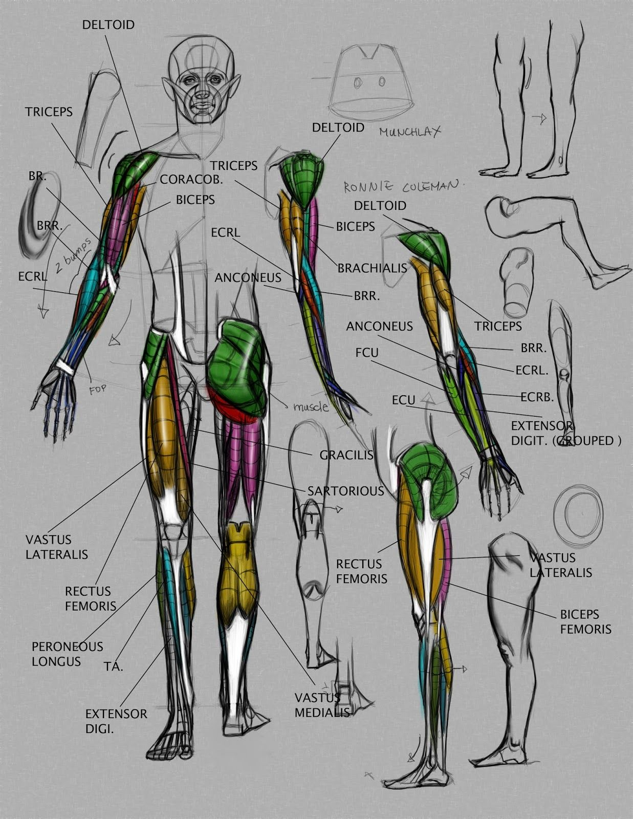 Anatomydemo2v2g 12371600 Anatomy Notes Pinterest Anatomy