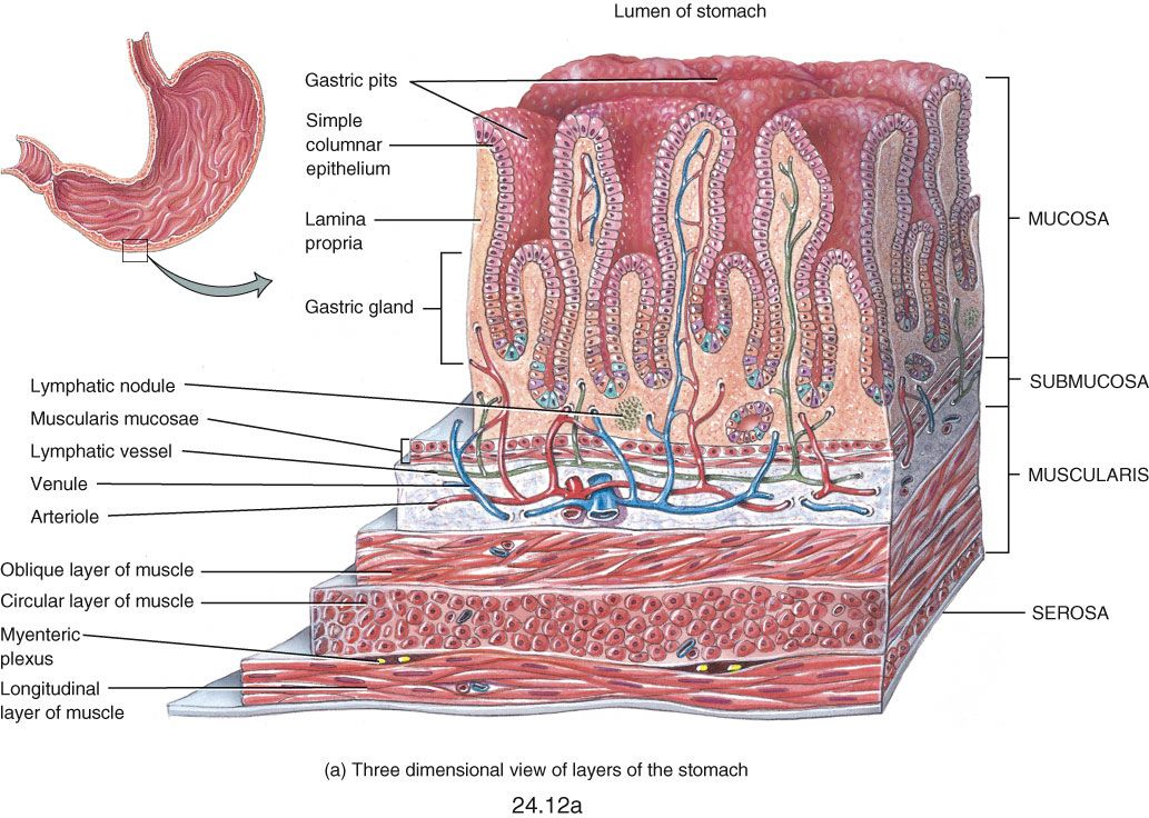small intestine histology labeled - Google Search | anatomy 1 ...