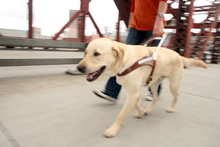 A Yellow Lab Guide Dog Works In His Our Swiss Harness Guide Dog