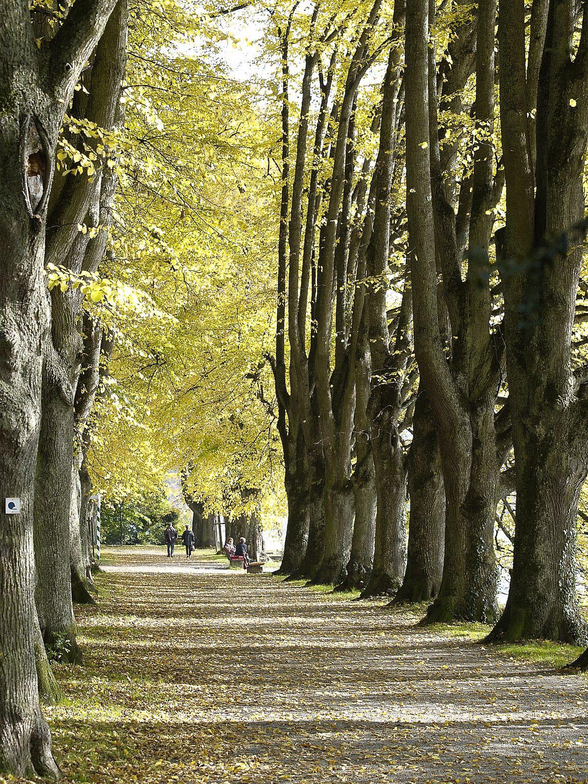 Baum Allee im Lindenhofpark in Lindau am Bodensee In Schachen ...