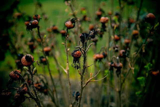 Dried Flower heads: they look like rosehips, or maybe a creature's head with weird scraggly mouthparts below...  ©Scott Baggett