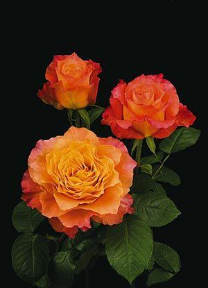 "Free Spirit Rose À¸""อกก À¸«à¸¥à¸²à¸š À¸""อกไม À¸˜à¸£à¸£à¸¡à¸Šà¸²à¸•"