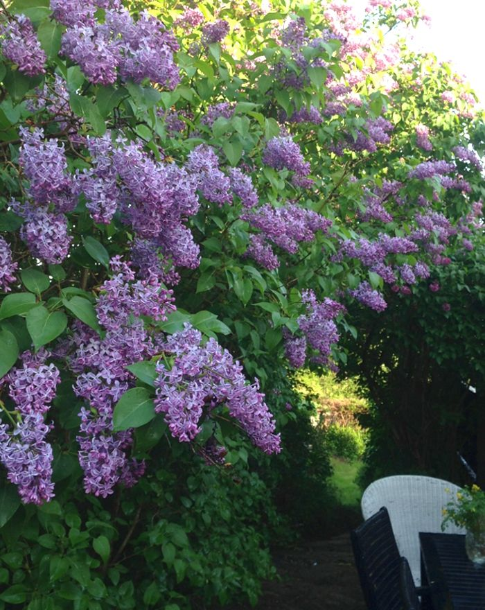 Lilacs Full Or Part Sun Although They Do Well In Clay Soil They