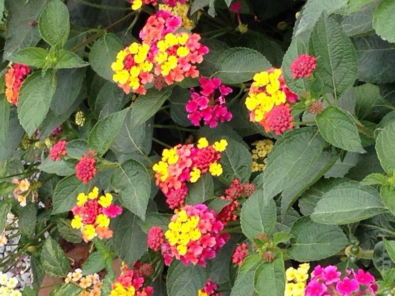 Free Plant Identification Plant Identification Plants Lantana