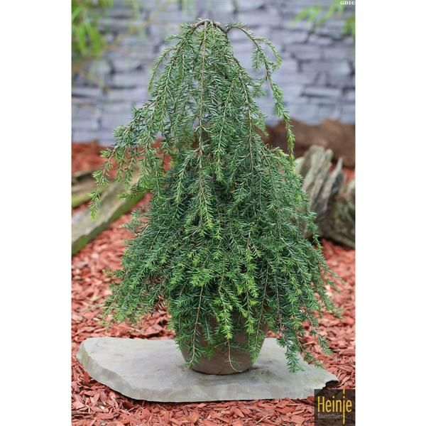 Wonderful The Top  Weeping Trees For Your Homes Landscaping  Trees Home  With Glamorous Tsuga Canadensis Pendula  Weeping Hemlock Tree  Johnstown Garden Centre  Ireland With Easy On The Eye Witchetty Grubs In Garden Also The Outlet Collection Jersey Gardens In Addition Fools Garden Lemon Tree And Small Garden Designs Ideas As Well As Square Foot Garden Planner Free Additionally Garden Sleepers Ideas From Pinterestcom With   Glamorous The Top  Weeping Trees For Your Homes Landscaping  Trees Home  With Easy On The Eye Tsuga Canadensis Pendula  Weeping Hemlock Tree  Johnstown Garden Centre  Ireland And Wonderful Witchetty Grubs In Garden Also The Outlet Collection Jersey Gardens In Addition Fools Garden Lemon Tree From Pinterestcom