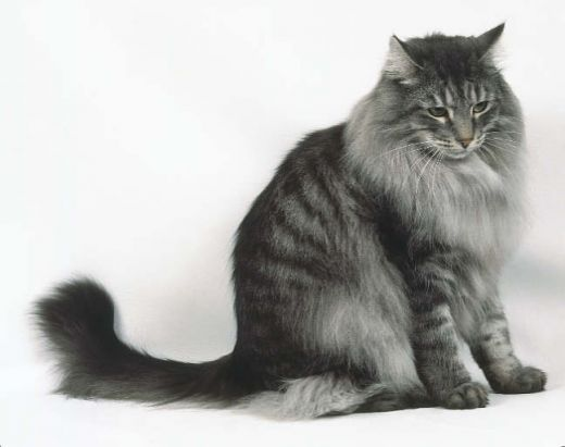 Results Is This What You Were Looking For Norwegian Forest Cat Forest Cat Norwegian Forest