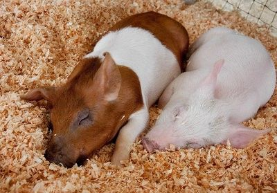 9 Reasons Baby Farmed Animals Are the Cutest Ever - ChooseVeg.com
