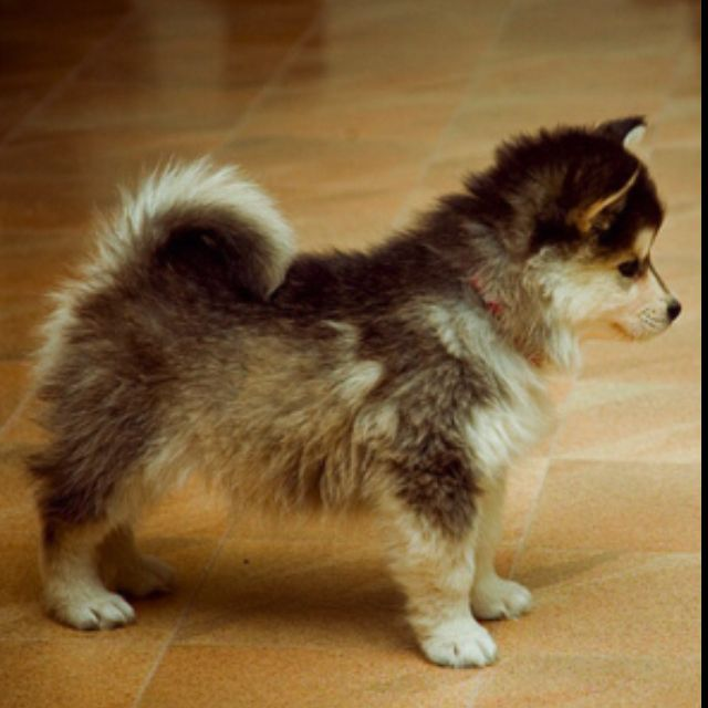 Husky Pomeranian Mix Cute Animals Puppies Cute Puppies