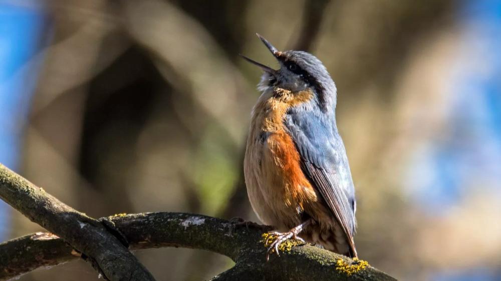 Kleiber Erkennen Gesang Bestand Lebensraum Verhalten Kleiber Vogel Erkennen Sumpfmeise