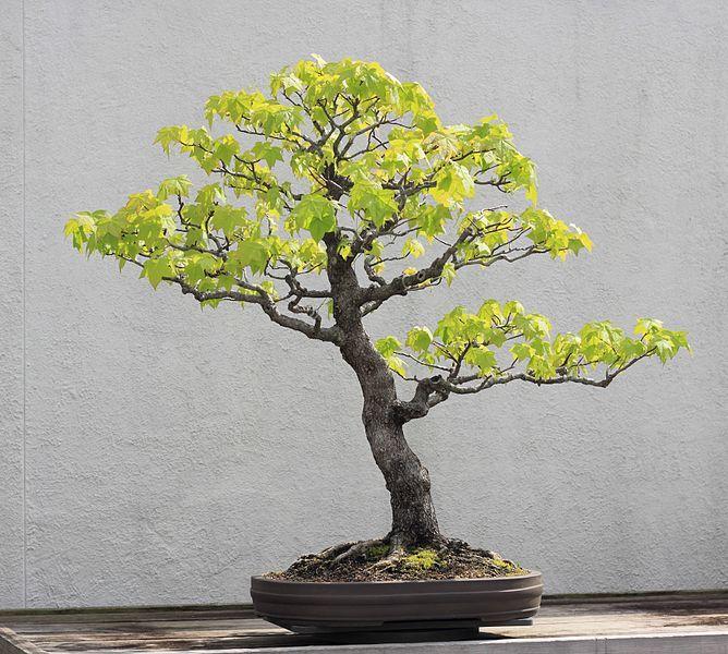 File:Sweet Gum bonsai 273, 30 April 2012.JPG