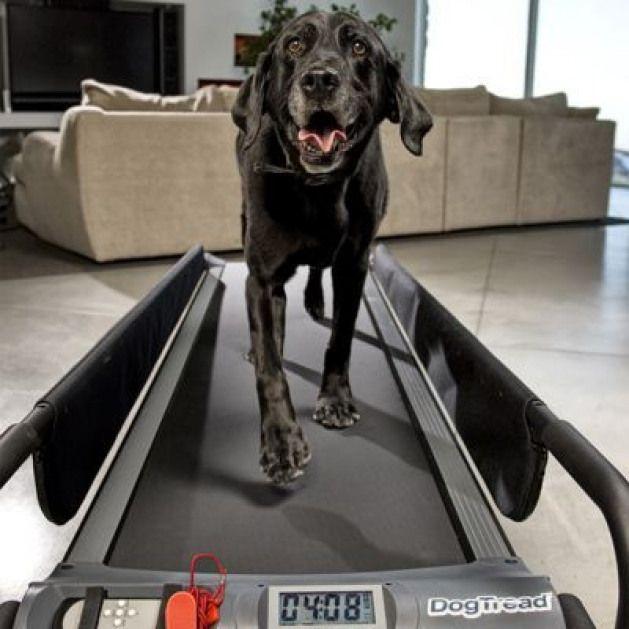 Ultimate Dog Treadmill Training Program Establish A Regular