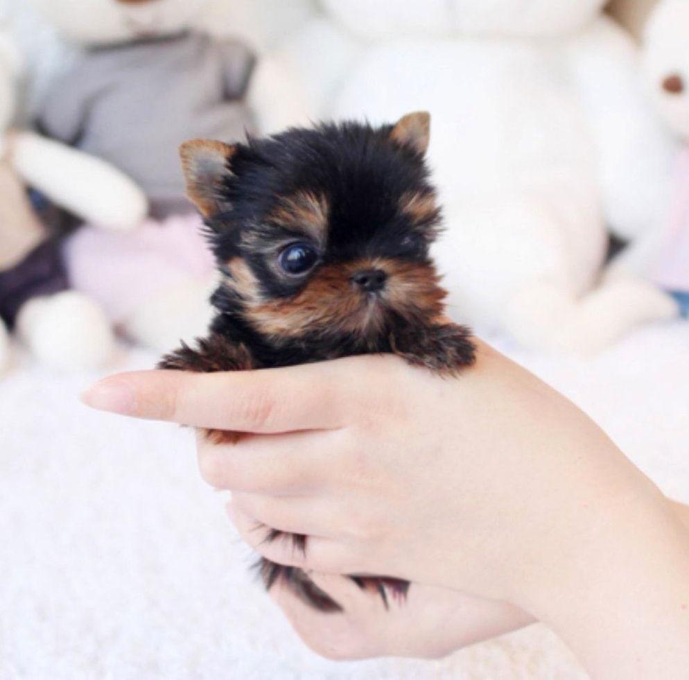 Yoko Black And Tan Micro Yorkie Micro Teacup Yorkie Yorkie Yorkie Puppy For Sale