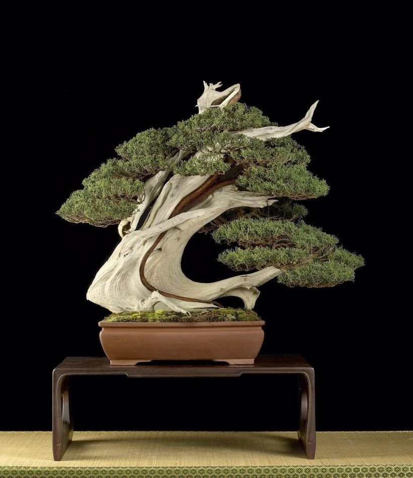 Very cool Juniper Bonsai by Mauro Stemberger. He is answering your Bonsai questions in a live Q&A session on our Facebook page. Submit your questions at: https://www.facebook.com/events/375195229520575/