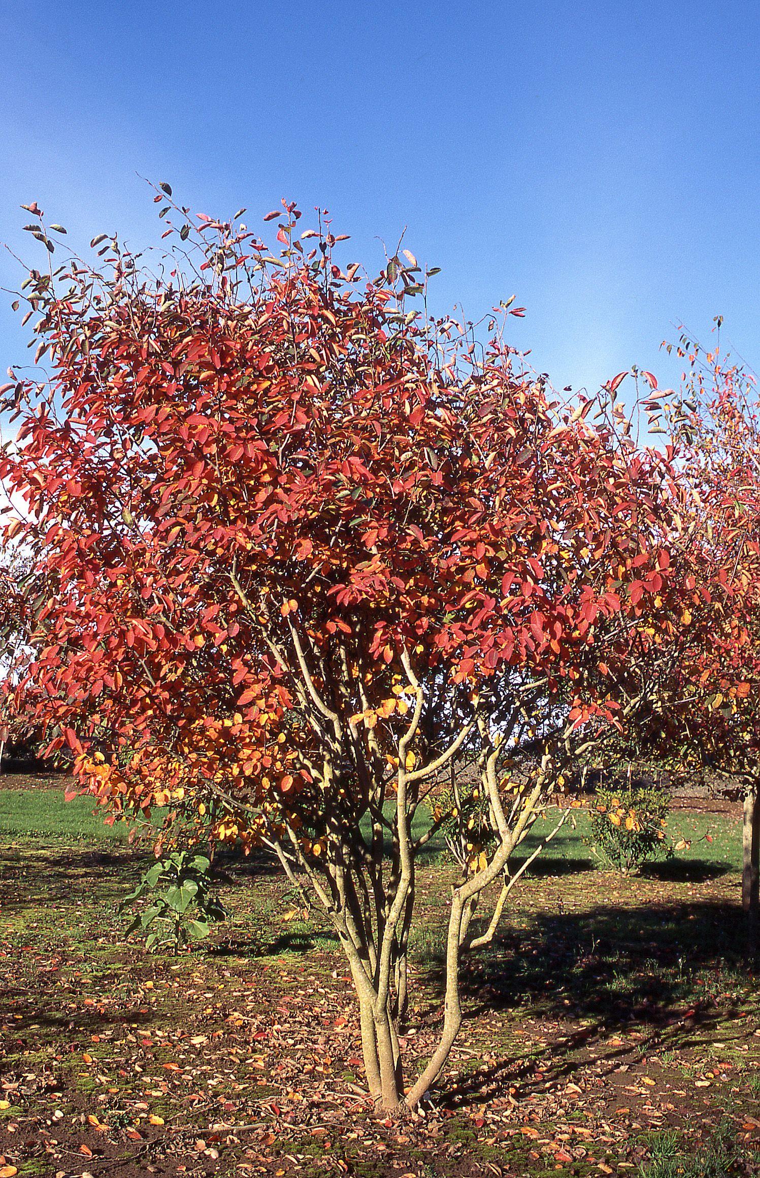 Autumn Brilliance Serviceberry Clump Form Species Amelanchier x