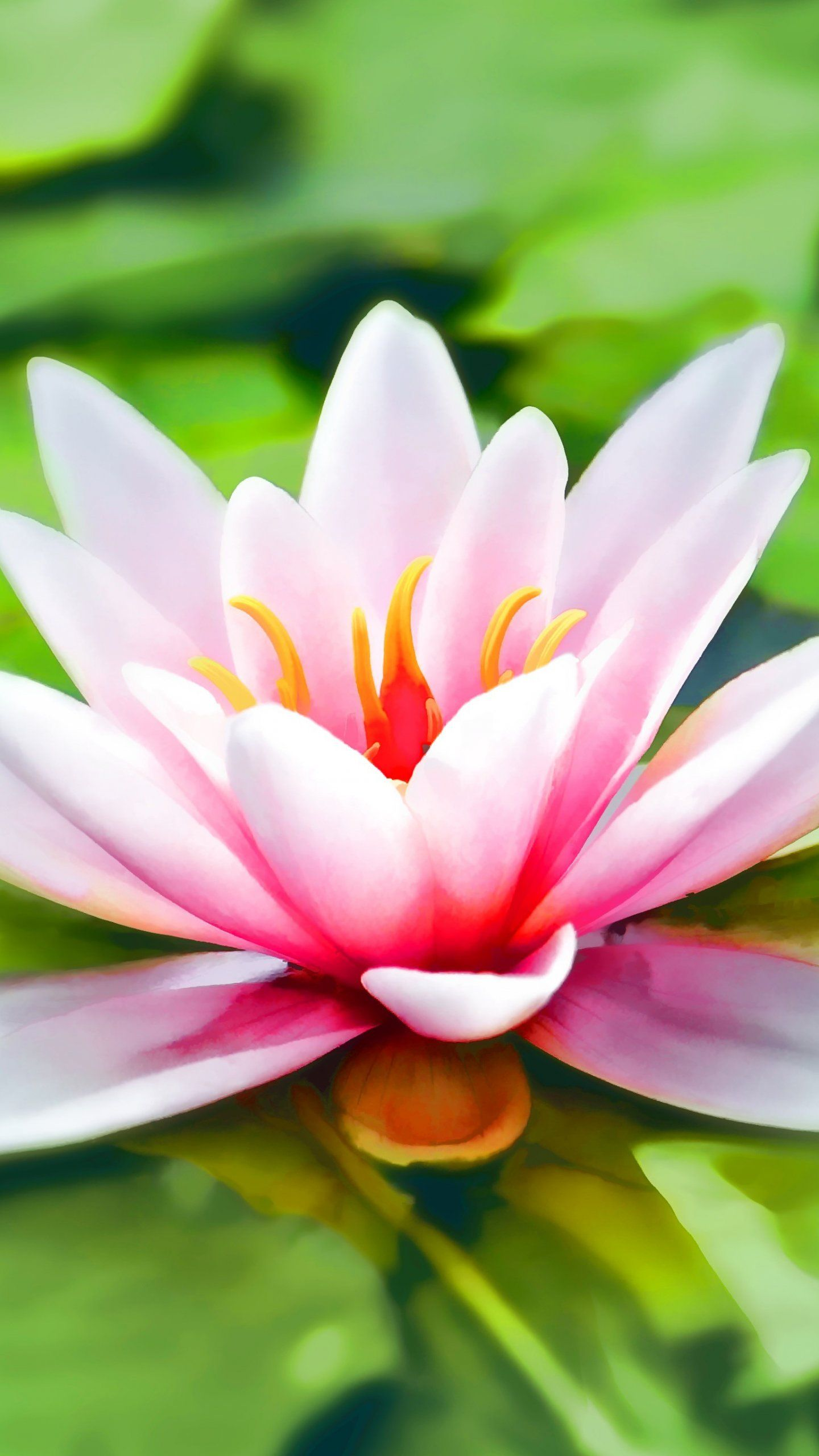 Water Lily Wallpaper Iphone Android Desktop Backgrounds