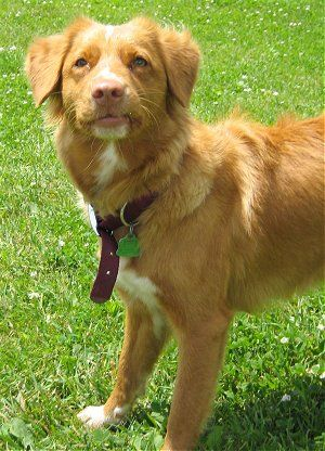 Holly The Nova Scotia Duck Tolling Retriever At 10 Months Old Animales Perruno Fotografia