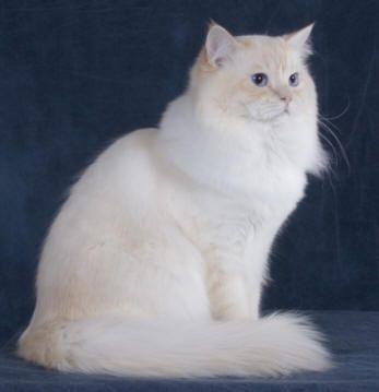 Ragamuffin Cat Pictures Ragamuffin Cat Cat Furry Cats And Kittens