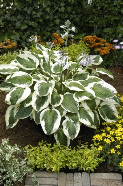 Hosta Minuteman Is A Lovely Green And White Hosta That Is A
