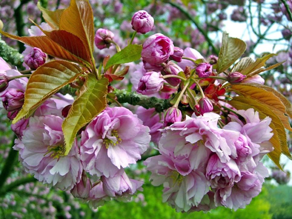 14 Flowering Trees For Year Round Color Flowering Trees Blooming Trees Year Round Colors