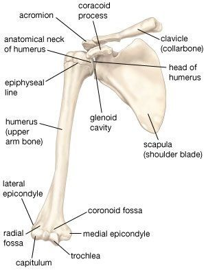 Skeletal System Diagrams Unidad Especializada Ortopedia