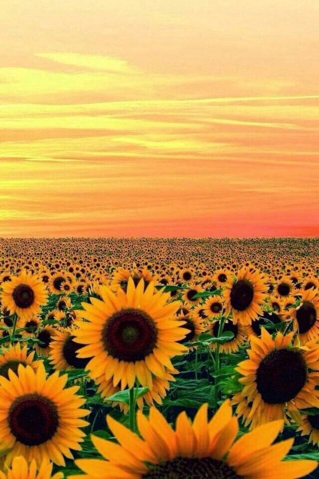 Tumblr Iphone Sunset Yellow Sunflower Wallpaper