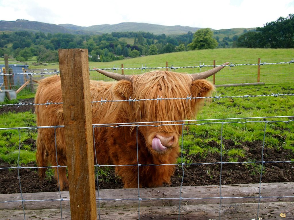 Hairy Highland Coo of Scottland