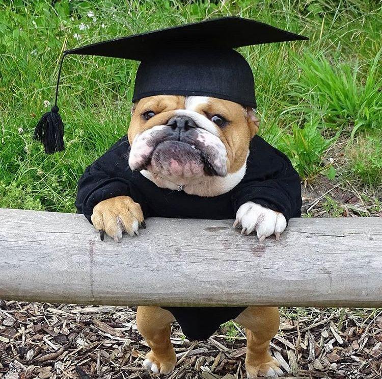 Graduation Bulldog Puppies English Bulldog Puppies Cute Animals