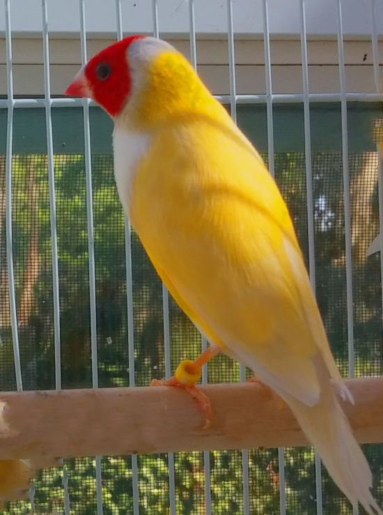 Mellow Yellow Fellow Gouldian Finch