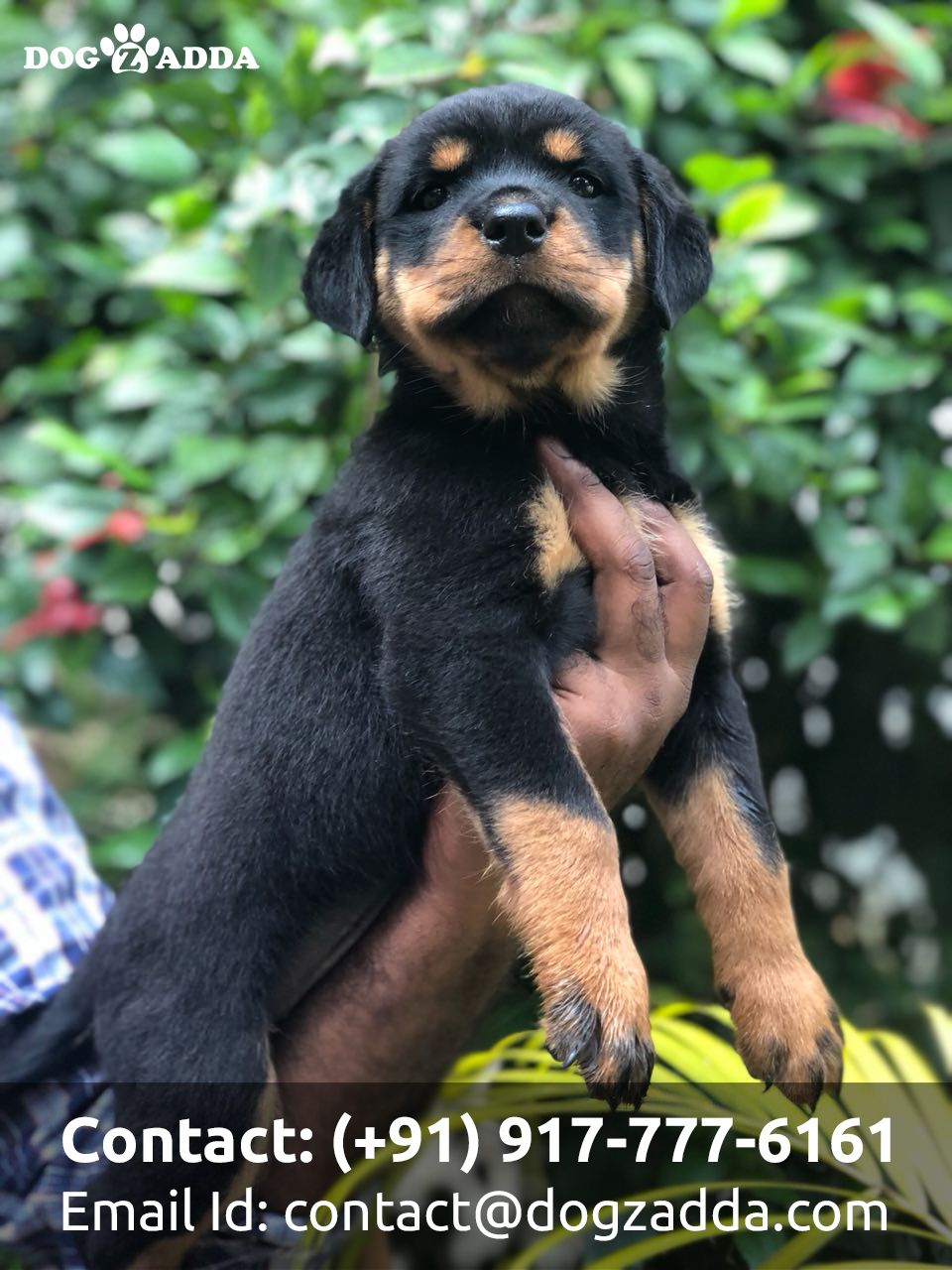 Rottie Pups With Good Personalities Should Be Curious Playful