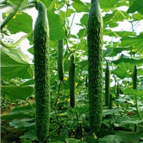 GREEN THIN AND LONG CUCUMBER (100 SEEDS) veggies at my ...