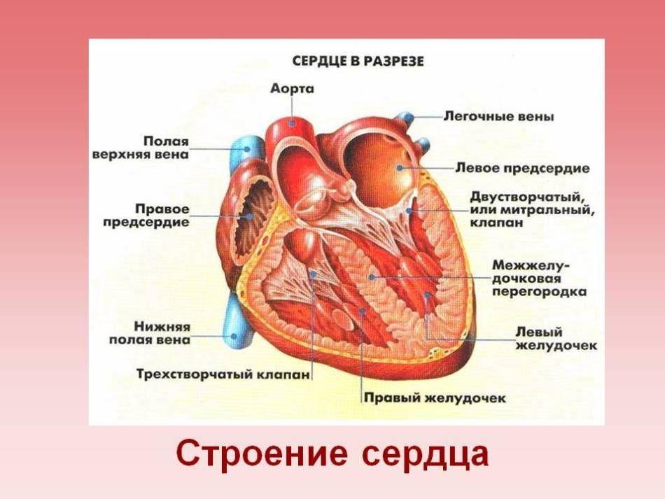 Человеческая анатомия. Строение и расположение внутренних органов человека. Грудь, живот, органы малого таза